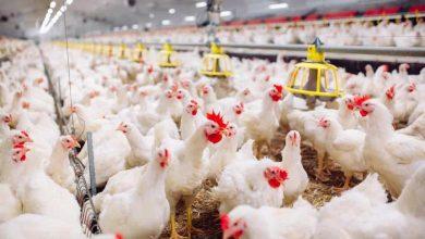 Photo of أسعار الدجاج والحبش اليوم الجمعة في أسواق  غزة