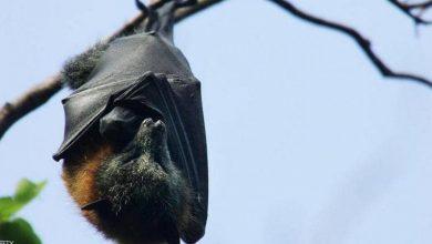 Photo of هل تسببت الخفافيش في جائحة كوورنا؟.. خبيرة بيئة تحسم الجدل