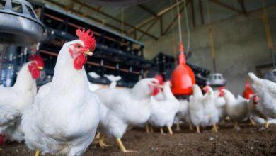 Photo of إليكم اسعار الدجاج هذا اليوم