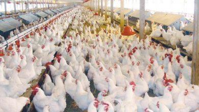 Photo of تعرف على أسعار الدواجن واللحوم في أسواق قطاع غزة اليوم