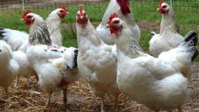 Photo of أسعار الدجاج وملحقاته اليوم السبت