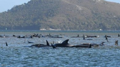 "Photo of ""نفوق جماعي"".. غموض يحيط بمأساة الحيتان في أستراليا"