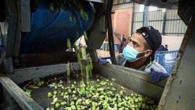 Photo of المباحث تغلق  5 معاصر زيتون في قطاع غزة